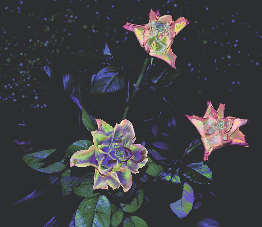 Flowers – nightroses