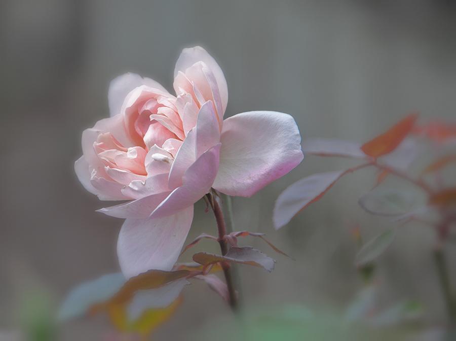 Herbst-Rosa